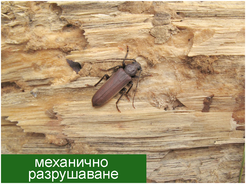 Wood enemy insect