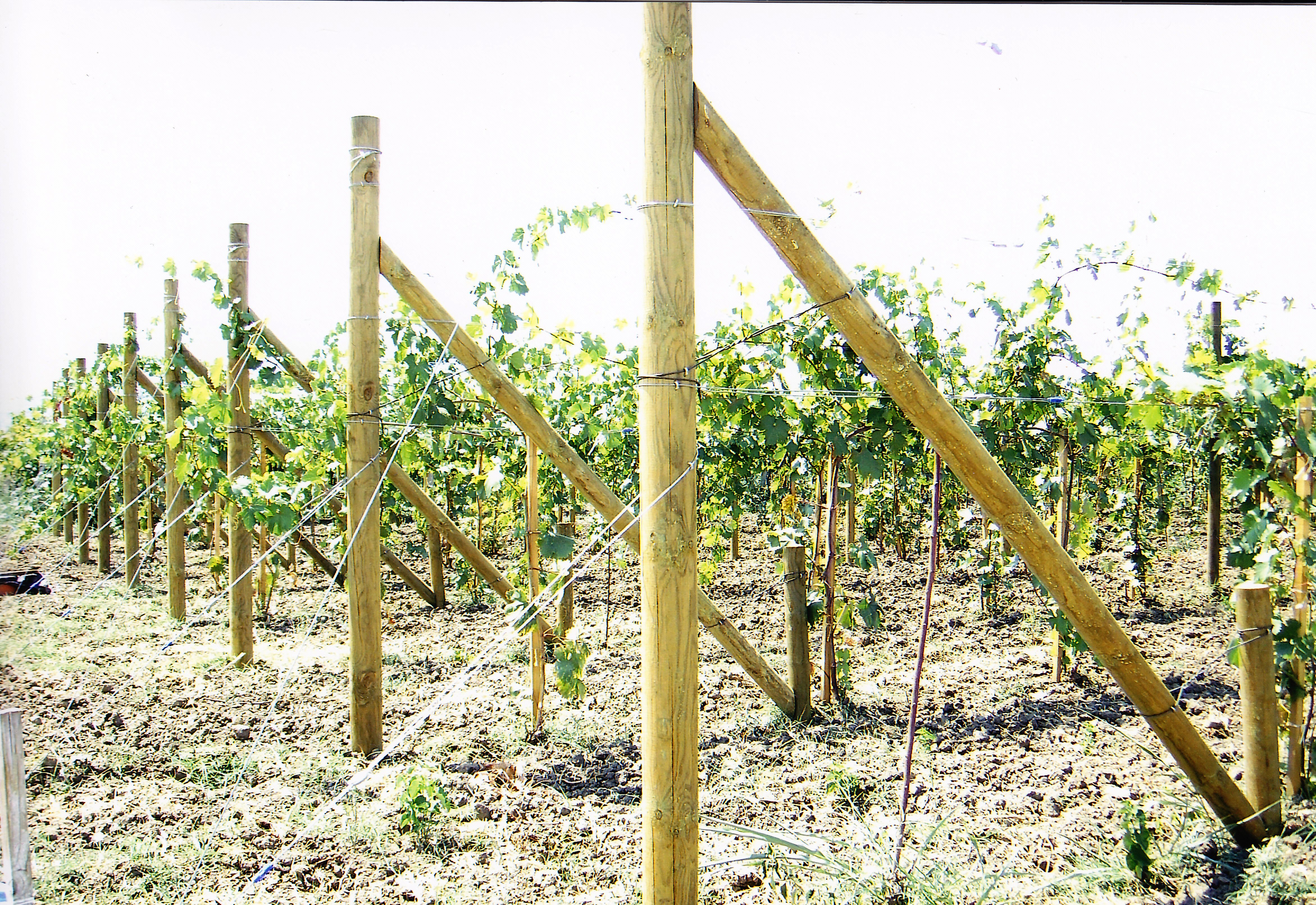 Impregnated Vine stakes